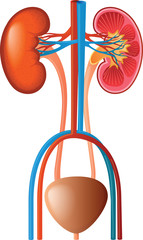 Human Renal System