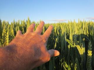 Hand im Weizenfeld