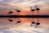 Pink flamingos at sunset