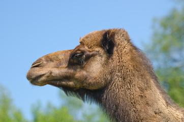 Dromedar (Camelus dromedarius)