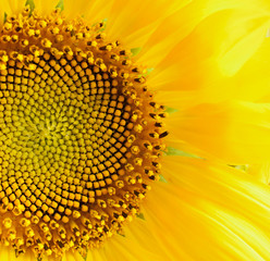 Closeup of sunflower