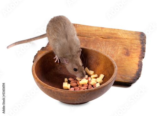 Brown rat eating from wooden plate
