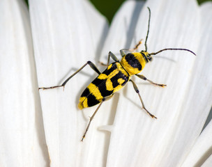 Yellow Beetle with black spots