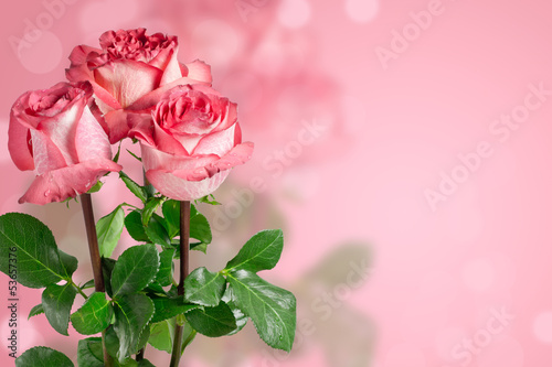 Pink roses on the bokeh background