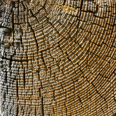 Wood cross section texture.