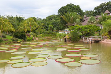 Tropical landscape with Victoria amazonica lilies, Bolivia