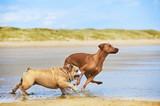 Two dogs english bulldog and rhodesian ridgeback dog running at - Fine Art prints