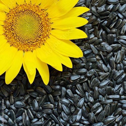 Foto op Canvas Zonnebloem Sunflower and seeds
