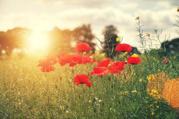 sun flare poppies