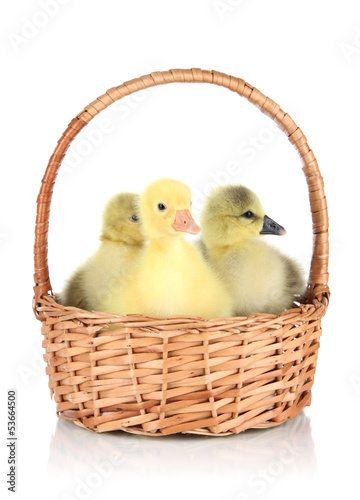 Little ducklings in wicker basket isolated on white