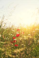soft light poppies