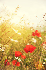 sunlight poppies
