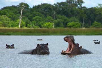 Hippos Rearing