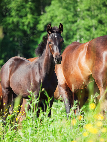 colt  with mom in the blossom field