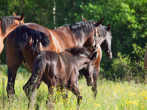 herd of sportive horse with foals