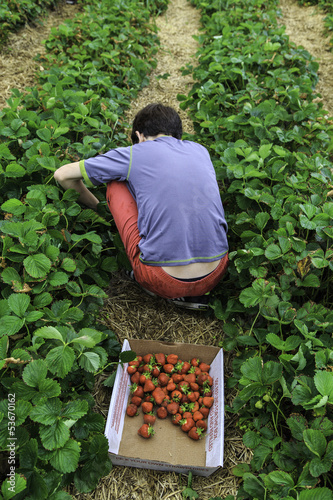 Picking strawberries at a farm