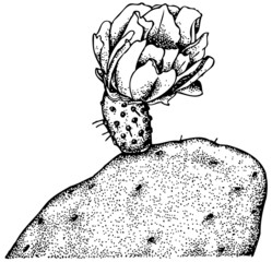 Flower of Plant Opuntia maxima