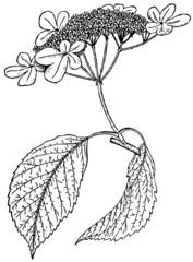 Branch of Plant Viburnum tomentosum