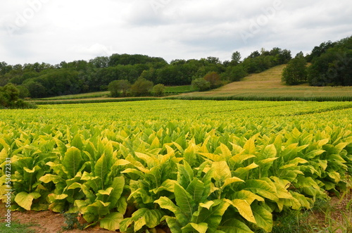 Tobacco field in Dordogne, France