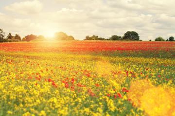 sunshine over poppies