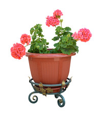 pelargonium in a pot flowerpot isolated