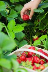 Strawberry - child picking fresh strawberries in the garden