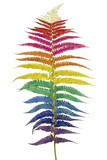 Raibow fern leaf isolated