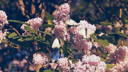 белые бабочки на цветках сирени