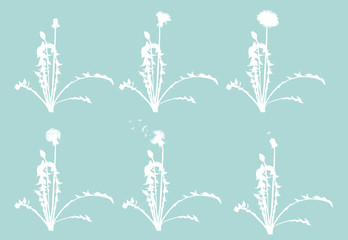 dandelion flowers from begining to senility isolated on blue