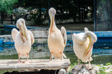 Pelicans Cleaning