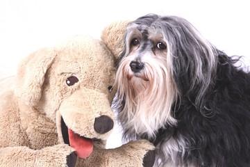 Havaneser mit Teddy