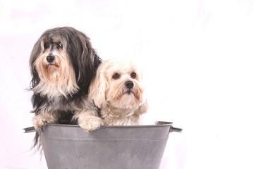 Havaneser - Hundepflege
