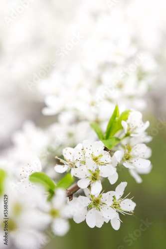 Blossoming branch of apple-tree in sunny day
