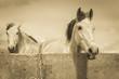 Obrazy na płótnie, fototapety, zdjęcia, fotoobrazy drukowane : two white horses