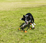 Border Collie Fetching Dog Toy at Park poster