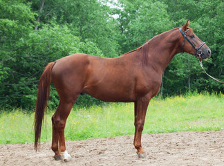 exterior of chestnut Trakehner stallion