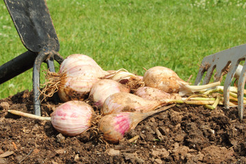 fresh garlic digging out from garden