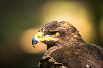 Steppe eagle - close-up portrait of this majestic bird
