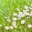 Endlich Frühling!, Gänseblümchen, Wiese, Bellis perennis