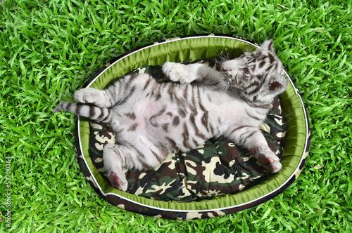 Deurstickers Luipaard baby white tiger laying in a mattress