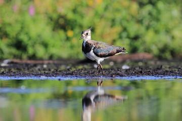 Northern Lapwing Vanellus vanellus