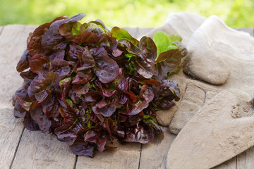 Frisch geernteter Eichblattsalat