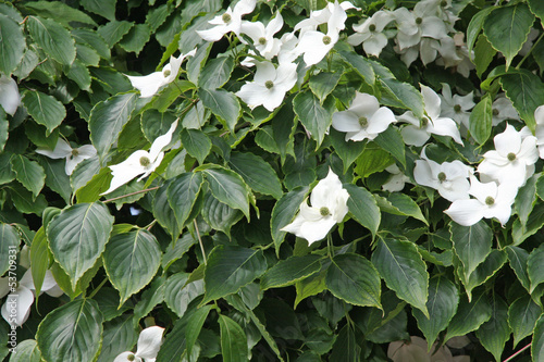white flower in a green hedge in spring