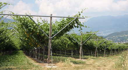 impressive vineyard grape growing and wine production