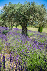 lavender Raw in Provence, france