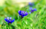 Fine bright dark blue cornflowers