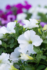 Beautiful white petunia flowers.