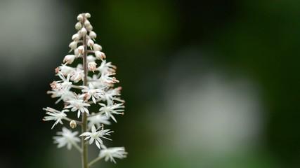 Close up of Tiarella cordifolia (foam flower)