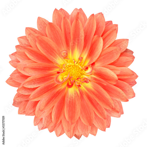 Red Pot Marigold Gerbera Flower Isolated on White