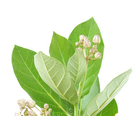 Milkweed (Calotropis gigantea) isolated on white